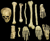 Cheap Wholesale Discount LIFE SIZE and LARGER Fake Realistic and Toy Human Skeleton Replica BONES, Skeleton Body Parts, Faux Bones, Anatomical, Skeletal Remains, Anatomy, Halloween Haunted House Horror Prop Decorations, Cosplay Costume Accessories