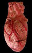 Cheap Wholesale Discount Scary FAKE Human Innards Assorted Organs, HEARTS, BRAINS, Heart, Brain, Gross Morgue Autopsy Body Parts, Bloody Halloween Party Decorations, Creepy Haunted House Horror Butcher Chop Shop Meat Market Props