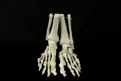 Sure-footed? Do not want to spend an arm and a leg? Realistic life size Budget BUCKY SKELETON FEET PAIR Foot Bones. Human Anatomy Cheap Graveyard Halloween Prop Building Supplies. Walking Dead Zombie Theme Gothic Decor. Set: Right, Left Foot.
