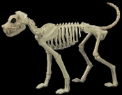 Oh, no! Lassie's DEAD? LARGE Life Size Realistic Creepy BUSTER SKELETON DOG Prop Building Decoration. Canine ZOMBIE BONEZ Hungry Skeletal Walking Dead inspired attack Dog guards your Halloween Haunted House and Horror Circus Carnival. 36-inch long