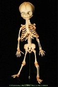 Life Size Creepy Realistic Articulated Fetal Anatomy Infant BABY BUCKY HUMAN SKELETON Replica Horror Fetus Medical Freak Show Figure on Stand - Hanging Sitting Standing Spooky Halloween Haunted House Prop Building Decoration. Jointed Mini Corpse Body